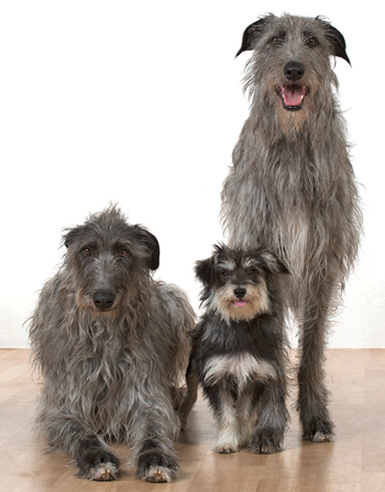 Mia the deerhound, Tilly the crossbreed and Theia the deerhound from Liz Thornton's company A1 Animals. Photo: A1 Animals