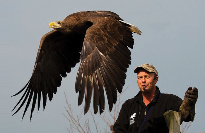 Graham Bessant at work with birds of prey. Photo: Trevor Dry