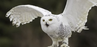 Snowy owl. Photo: Shutterstock